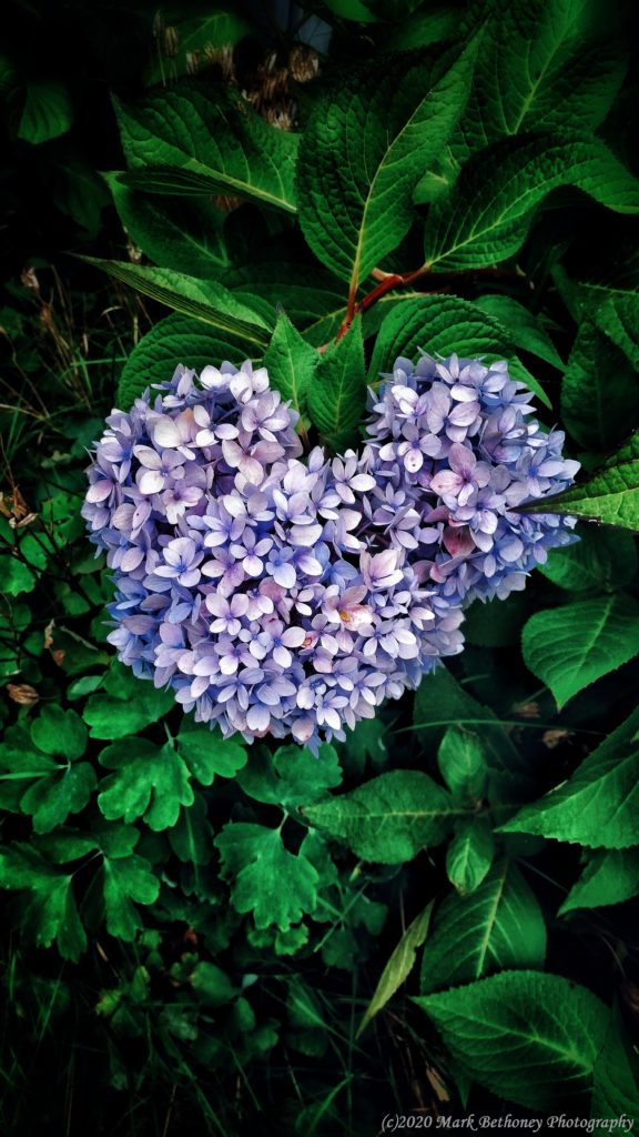 Heart shaped Hydrangeas